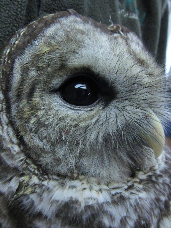 Raptor Education Group Inc Barred Owl Side