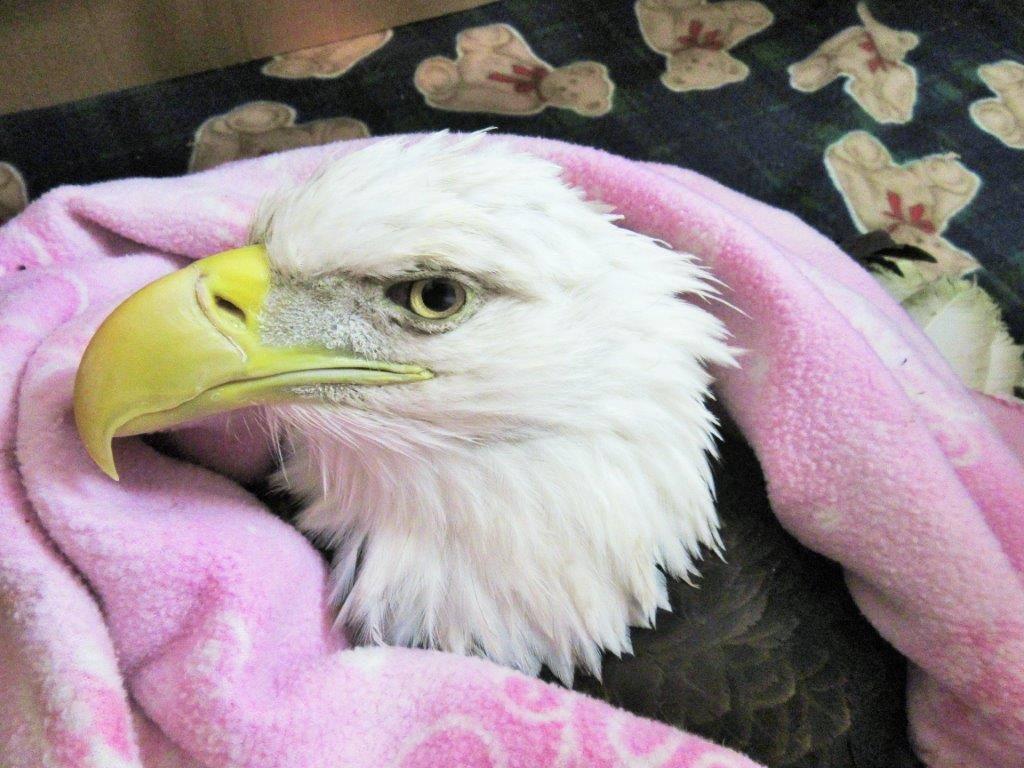 Raptor Education Group Inc treats dozens of lead poisoned bald eagles annually
