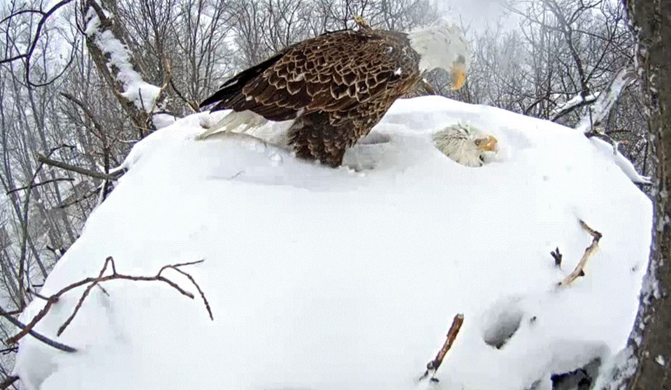 """""""Dad's home""""  The male came in to exchange incubating duties with his mate in the morning. This gives the female time to tend to her """"personal needs"""" and to get breakfast while he takes nest duty. Nest cam viewers were holding their breath as the pair made the change keeping the precious eggs warm and dry despite the abundance of snow."""