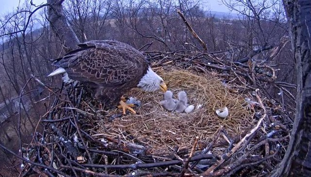 Nest cam viewers were elated when the two eggs hatched into two adorable eaglet chicks.