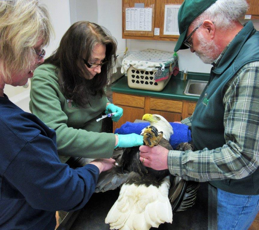 A physical done on the adult Bald Eagle on arrival at Raptor Education Group, Inc included doing blood tests, as well as an exam to detect obvious physical injuries. Here Steve Fisher (Rt) and Lisadawn Schram ( lower rt)assist during the exam.