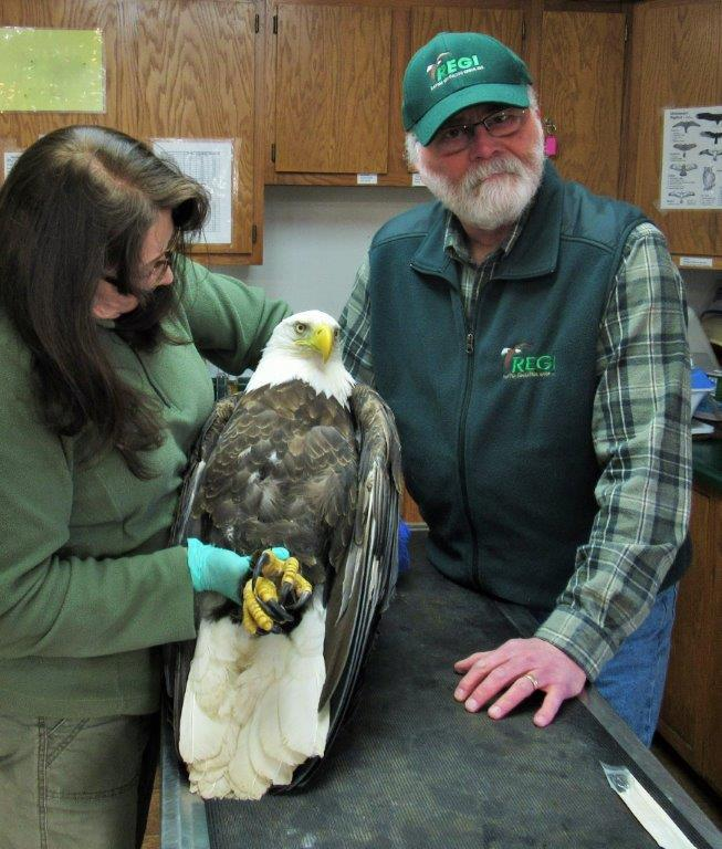 We are grateful to Steve Fisher for transporting this handsome eagle to R.E.G.I. from Mosinee where he was found on the ground unable to walk.