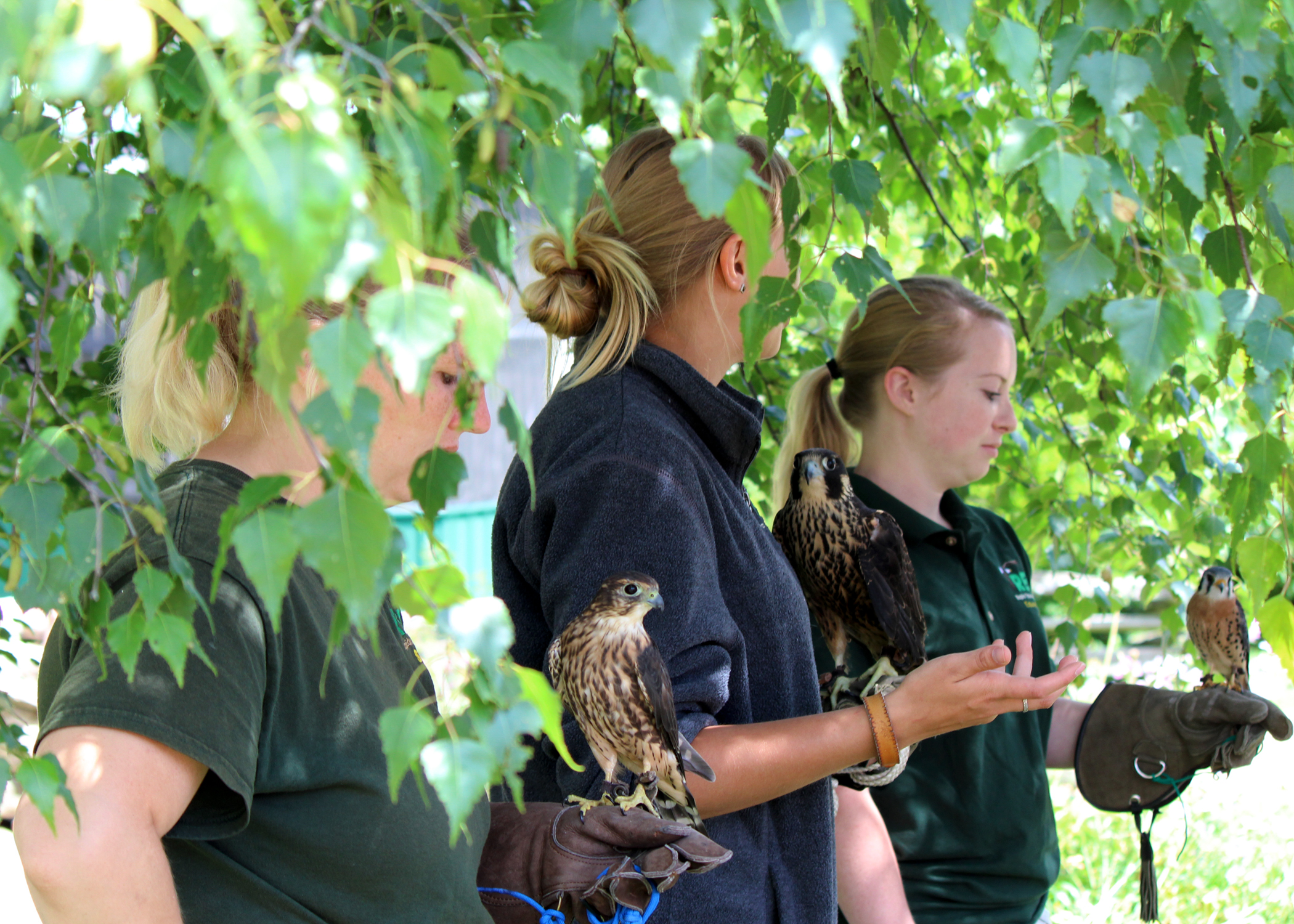 Director of Education, Abbey Krumrie holds a Merlin Falcon, Education Intern Elise Worthel holds an immature Peregrine Falcon, and Rehabilitation Intern, Victoria Schweitzer holds an American Kestrel falcon.