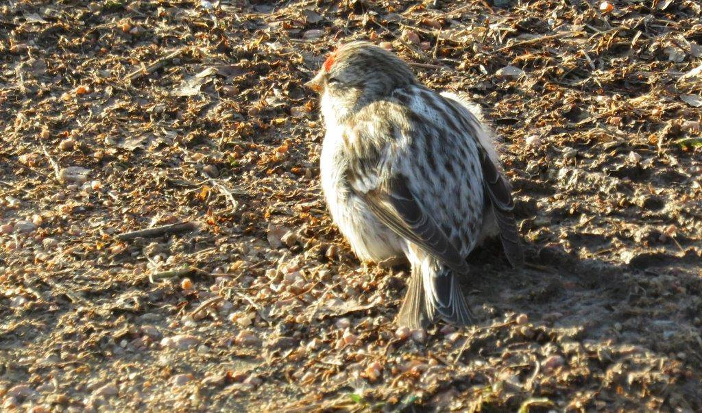 This Redpoll is showing signs of sickness. Notice the fluffy appearance and dullness of its eyes.