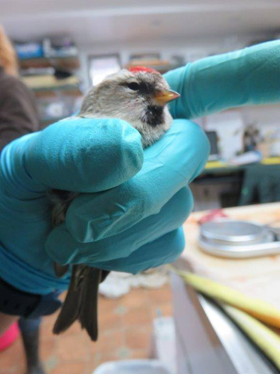 This Common Redpoll patient is low in weight and requires a heated enclosure and antibiotic treatment.