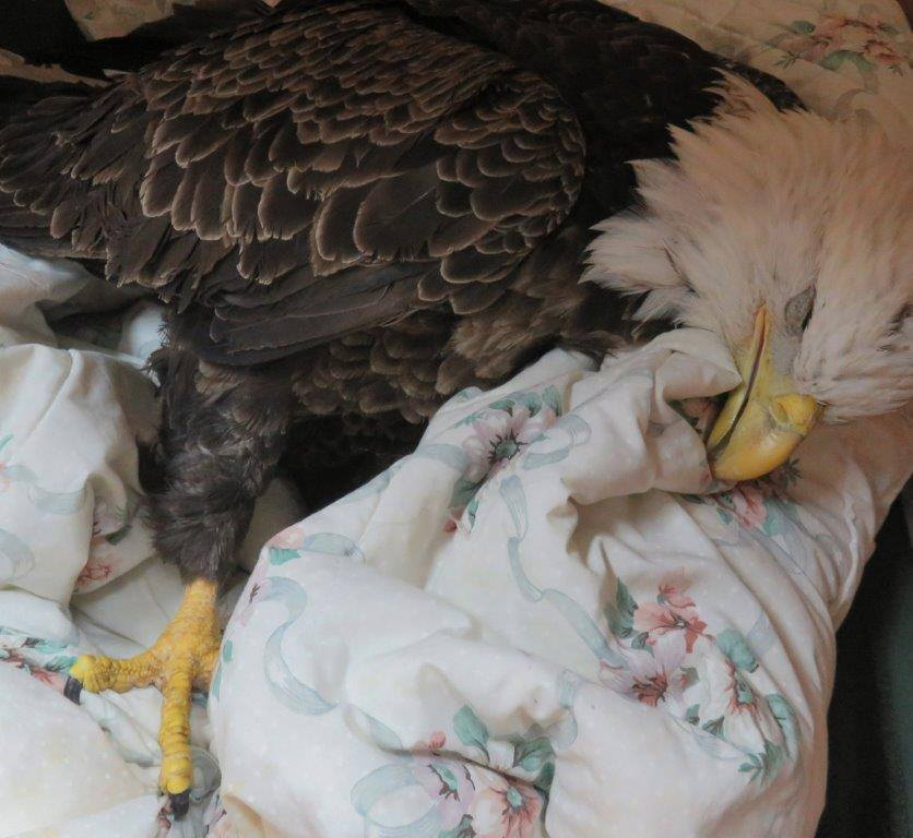Weak but now warm and comfortable the eagle is safe and can begin recovery.  Thank you to Cubby and Emily Taylor for transporting him the 4 hours round trip to REGI. We so appreciate your help.