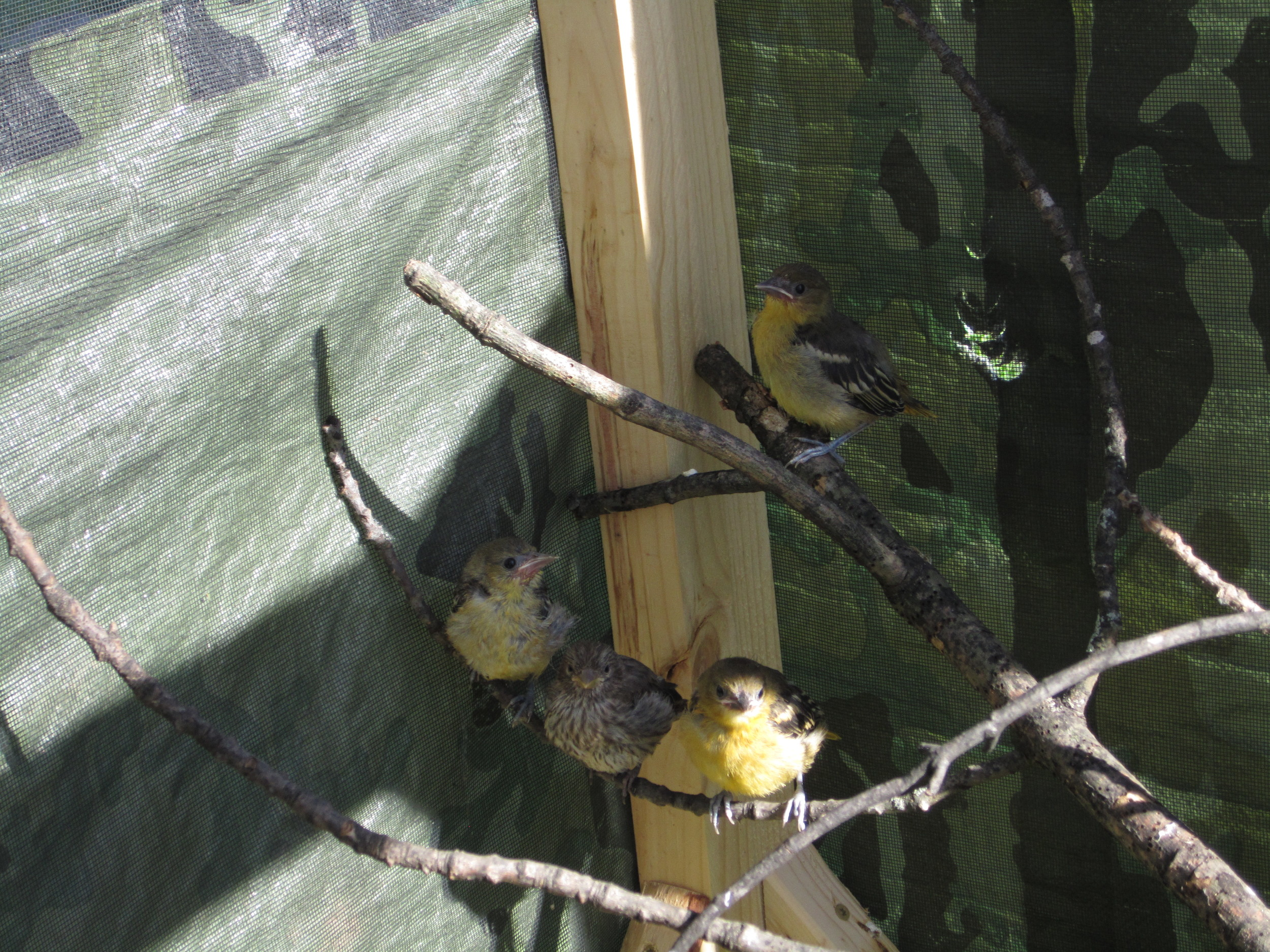 Top left: nestling grackles, Top Right: the grackles grown and out in a screened in area  Bottom left: nestling Red-breasted Nuthatch, Bottom Right: Orioles and a House Finch in a screened in area.