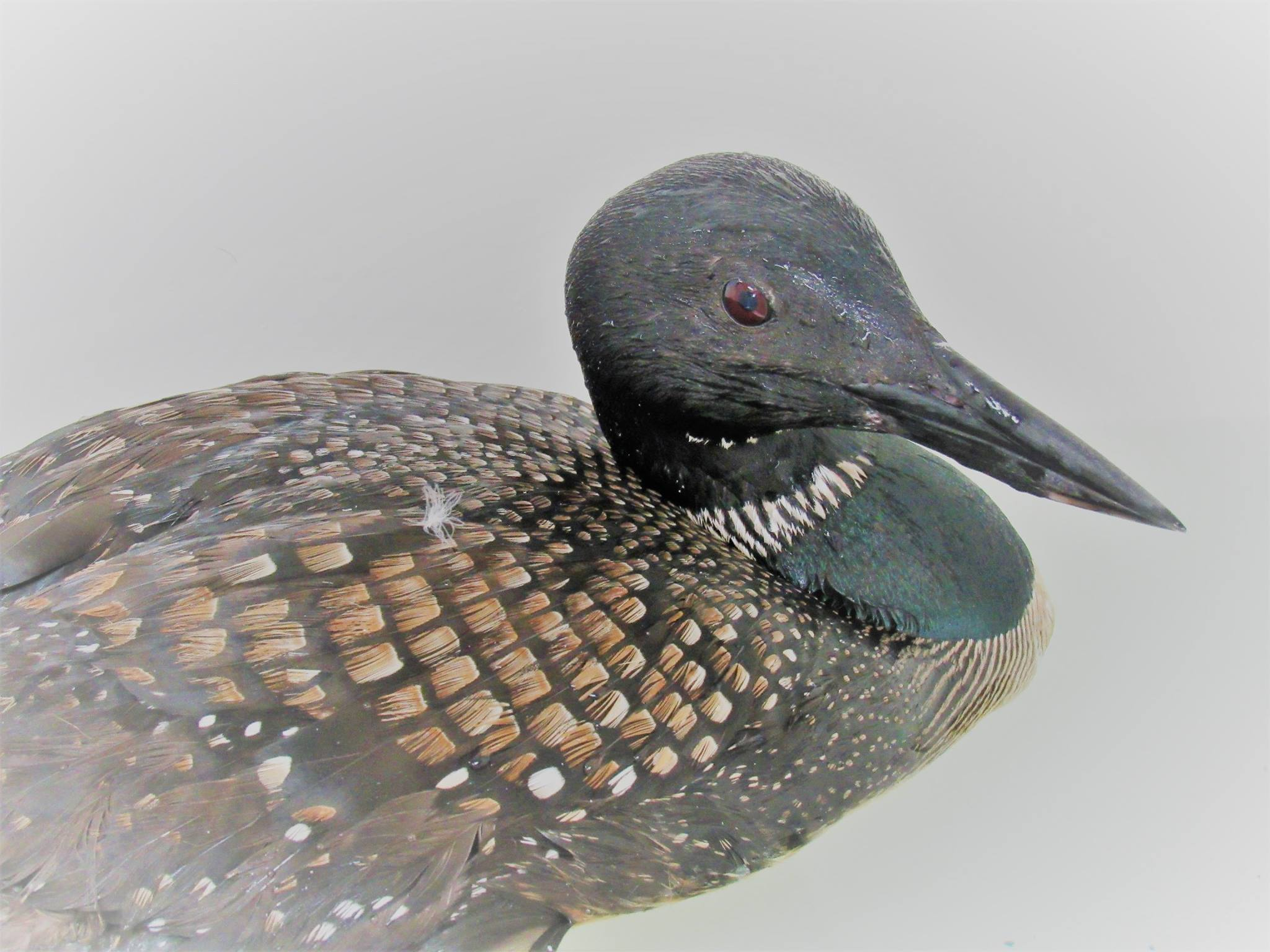 The male loon has a good appetite, but is being tested for toxins as a potential explanation for his airport landing