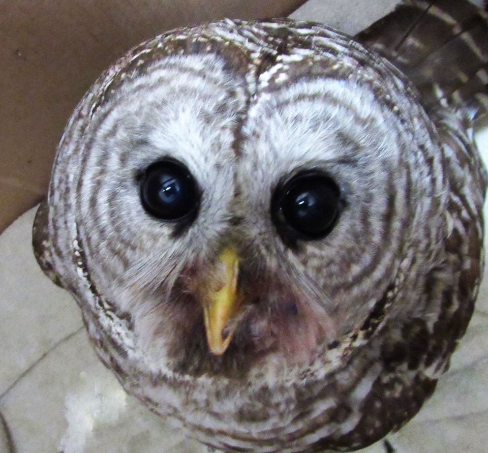 Barred owl today feeling lots better!