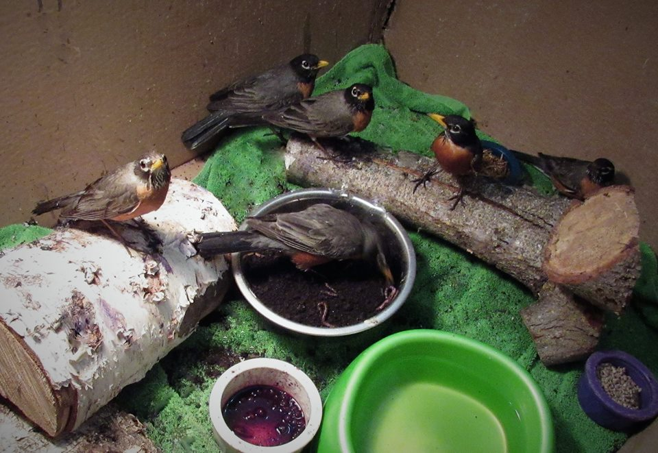 Robins making progress! Release day for these kids today as well as others.