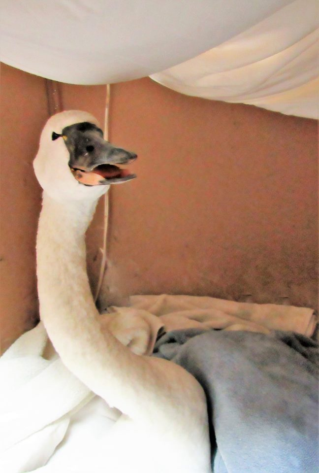 Our lead poisoned Tundra Swan admitted last night is still with us and aware of her surroundings.