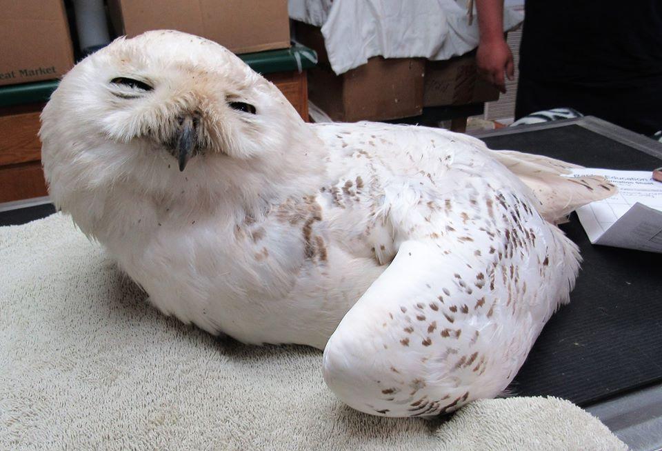 Adult Snowy Owl hit by a car.