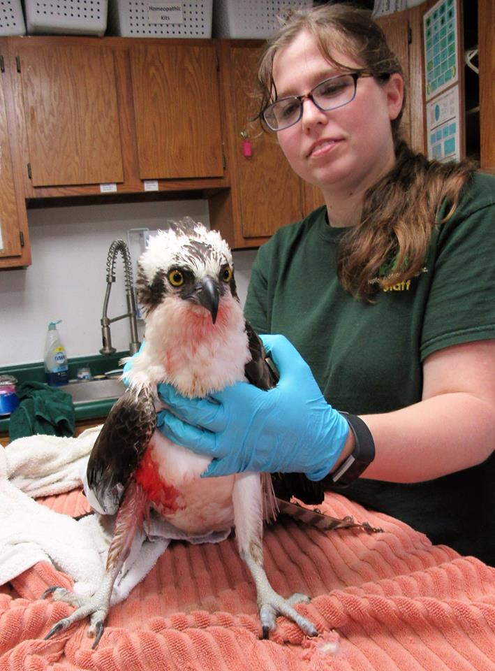 Male Osprey had a bad day today as he was hit by a vehicle. His wing is bleeding but we hope for a good result. — with Ashley Nilsson at Raptor Education Group, Inc.