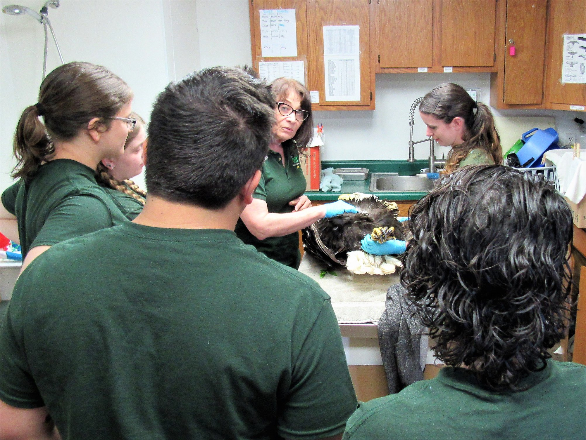 Bald eagle admitted, Interns observe