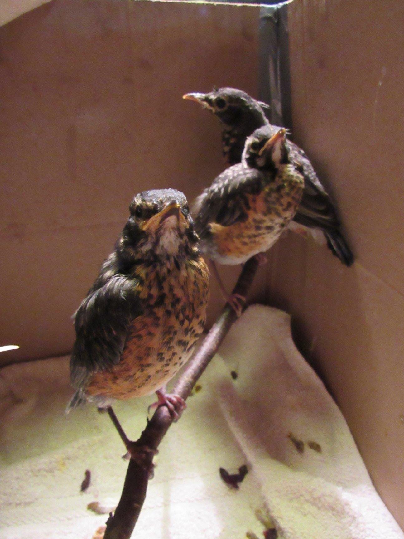 More Robin fledglings.