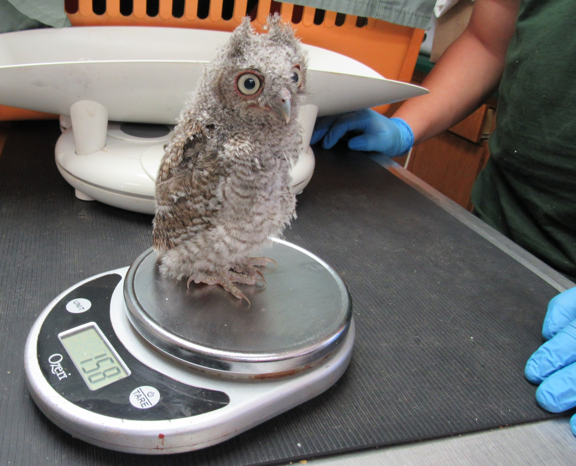 One of two tiny Screech owls being raised at REGI.