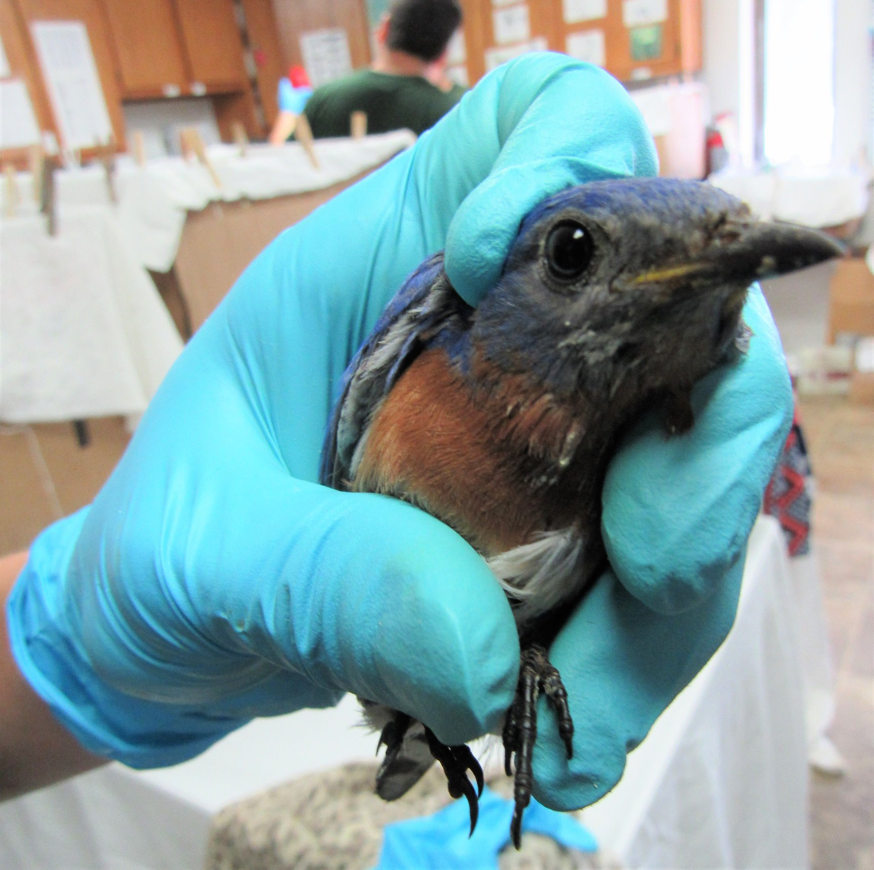 This adult male bluebird was protecting his family when he was attacked by a cat.