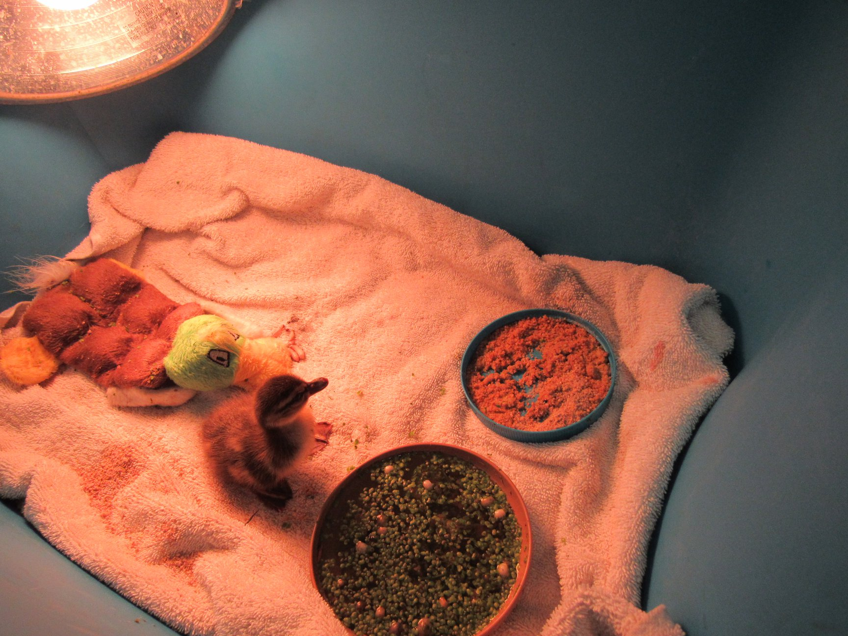 Mallard duckling arrived as a single baby...we now have 18 mallard duckings to keep each other company.