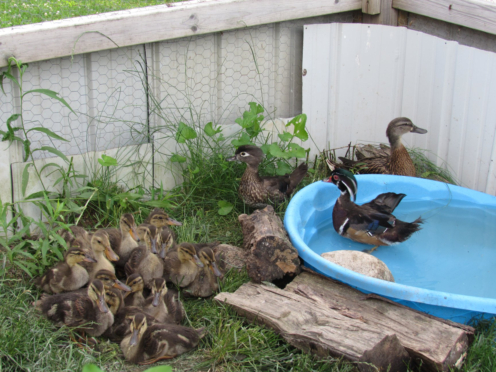 Now outside with the foster parents our oldest group of ducklings is acclimating to the outside temperatures and weather.