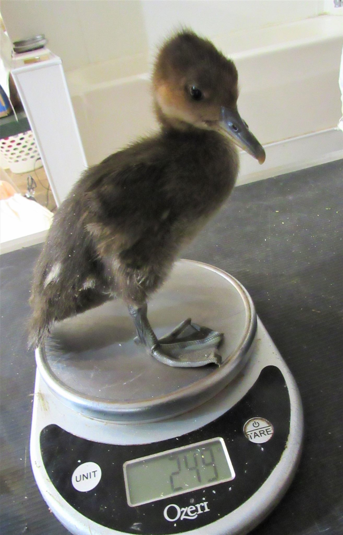 Little Hooded Merganser is growing up fast! He eats only live food such as minnows.