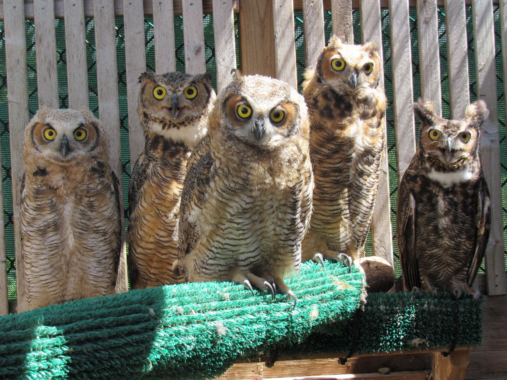 Owlets growing up with each other and their foster dad.