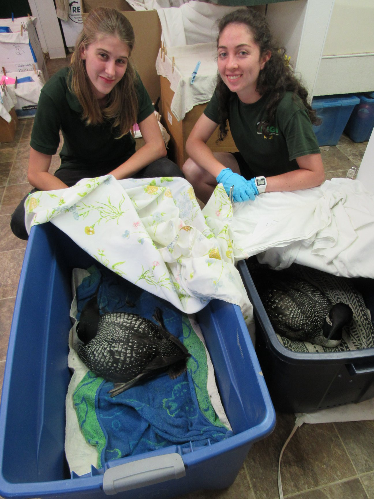 Our loon patients continue to gain weight and prepare for release. Both are doing well.
