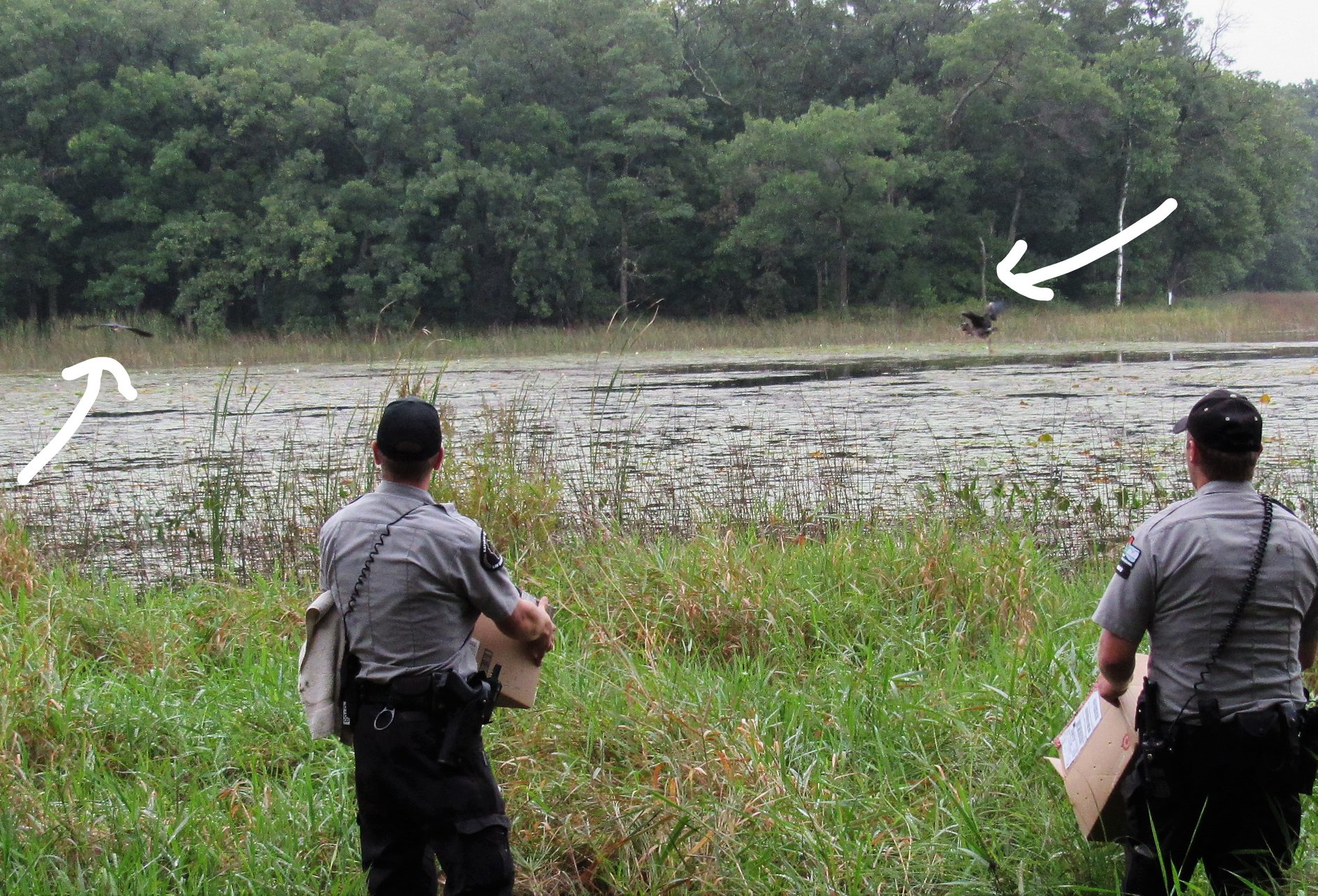 Wardens Ben Mott and Kyle Ziembo release rehabilitated Little green herons into perfect habitat. The arrows point to the herons as they wing their way to freedom. They were so excited to be free!