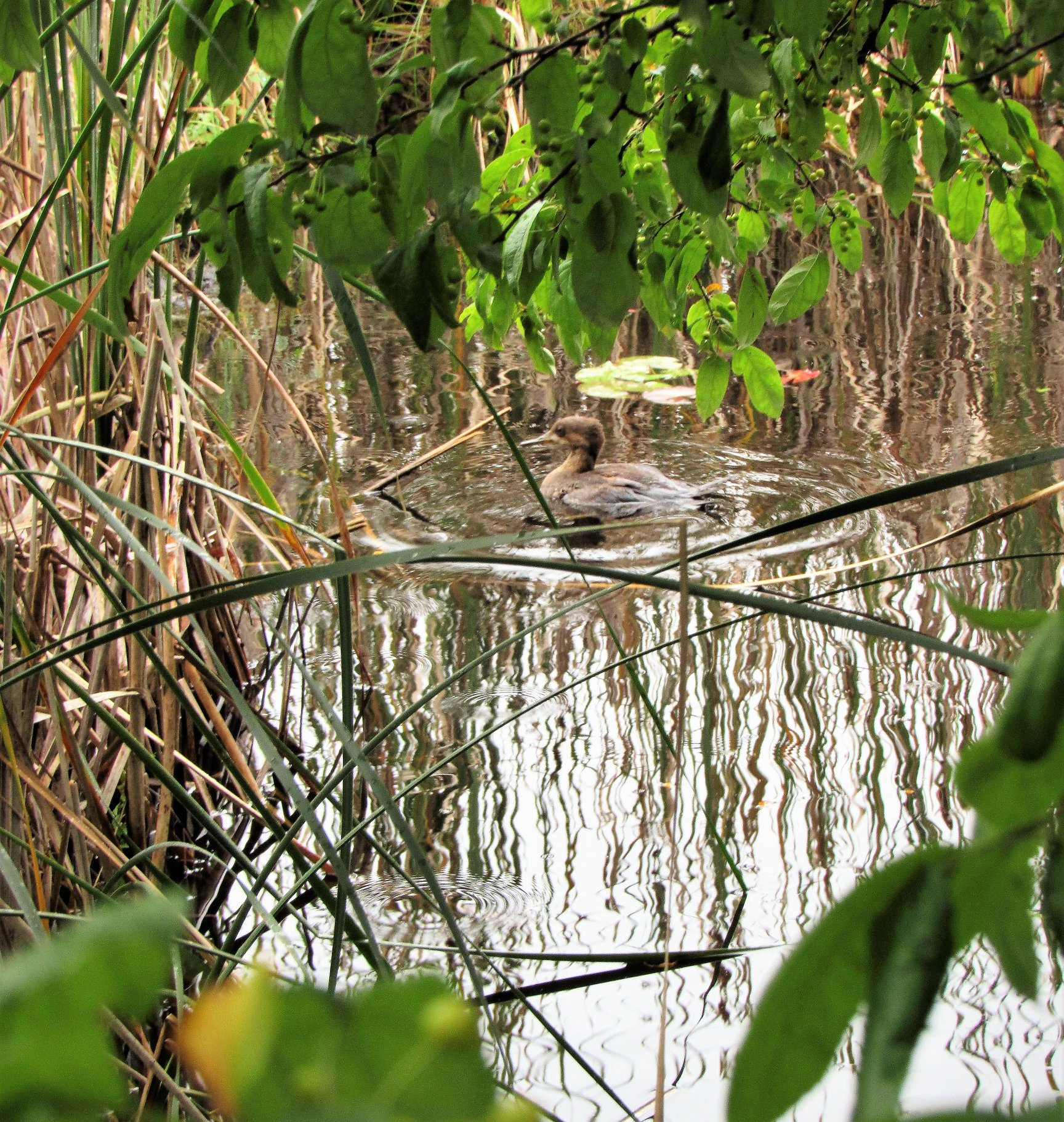 There is our little Hooded Merganser enjoying some peace and quiet away from the others!