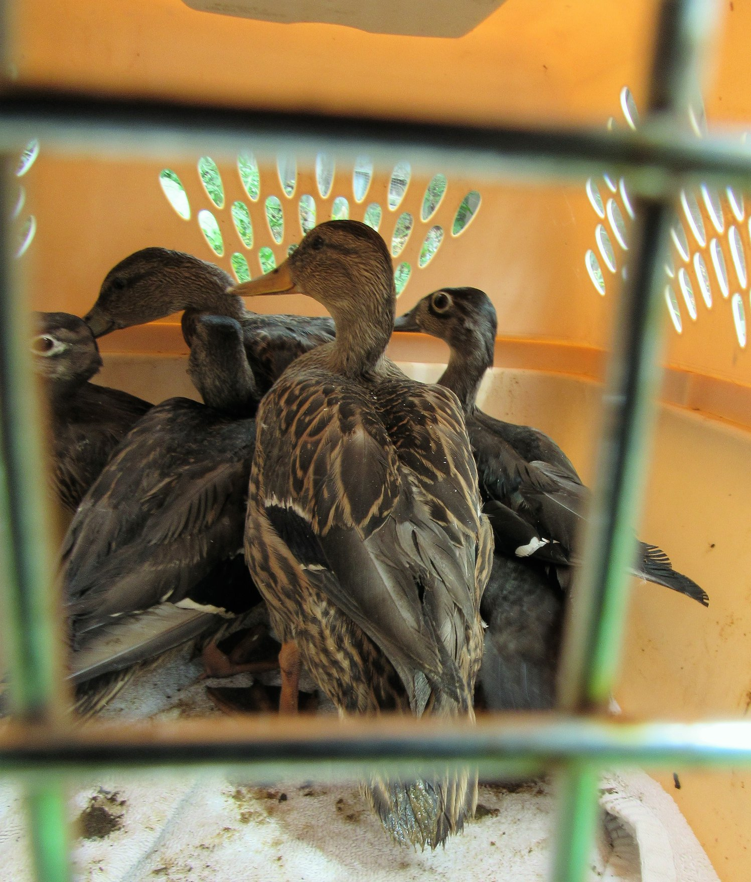 One more carrier with ducks on their way to release.