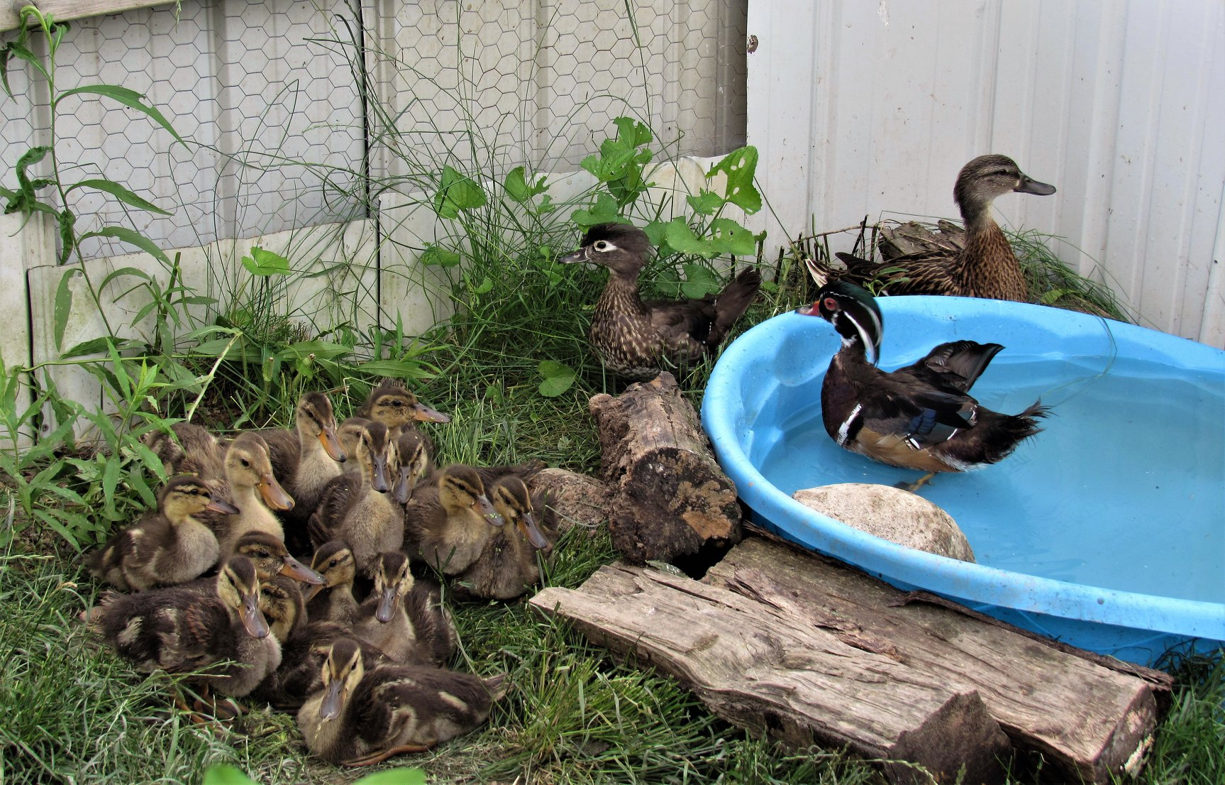 Our hard working foster parents ducks, a male and female Wood ducks and female Mallard, look after their mixed brood of ducklings. The foster parents allow the ducklings to grow up wild and as normally imprinted to their own species.