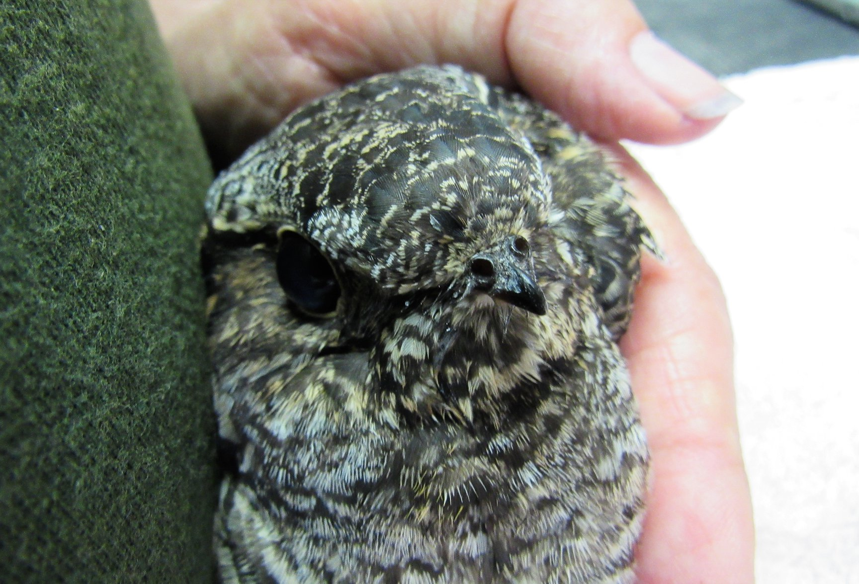 Nighthawks have a tiny beak that opens into a huge paper thin mouth that works as a funnel to capture insects while the nighthawk is in flight.