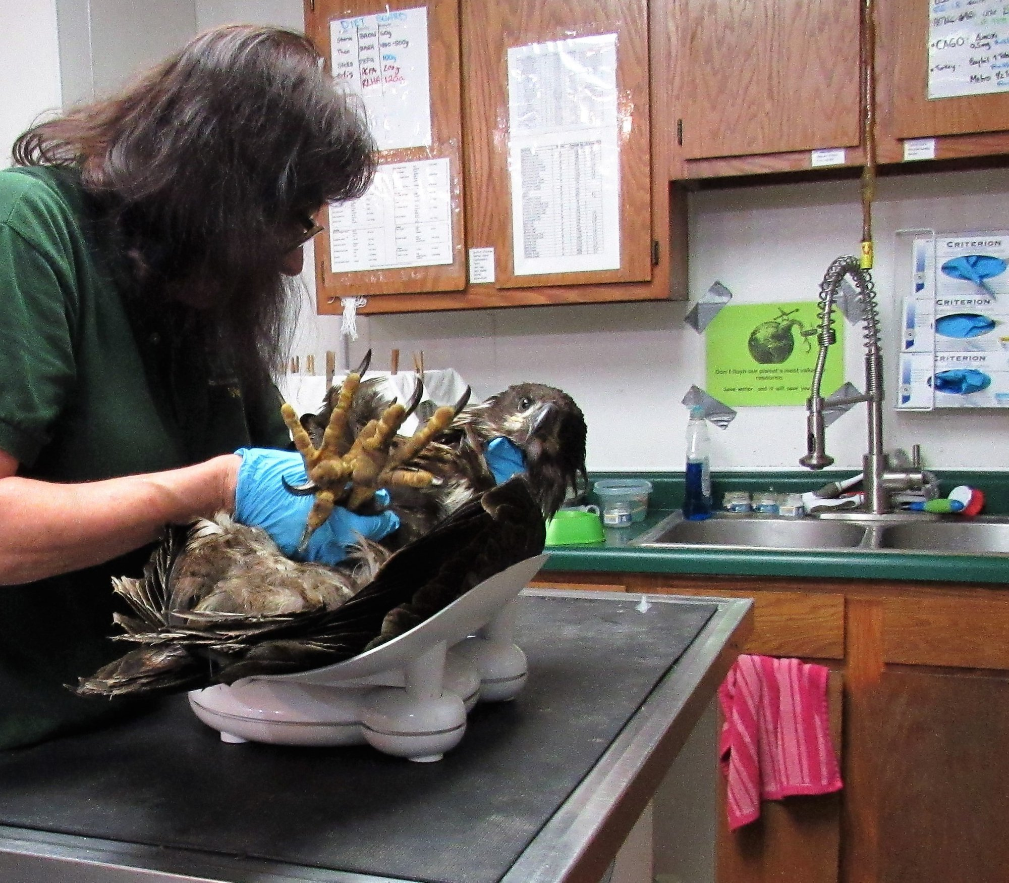 The young eagle only weighed 5.2 lbs which is near starvation.