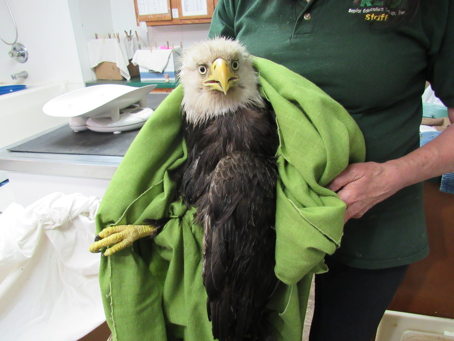 A very handsome adult Bald eagle suffered a wing fracture.