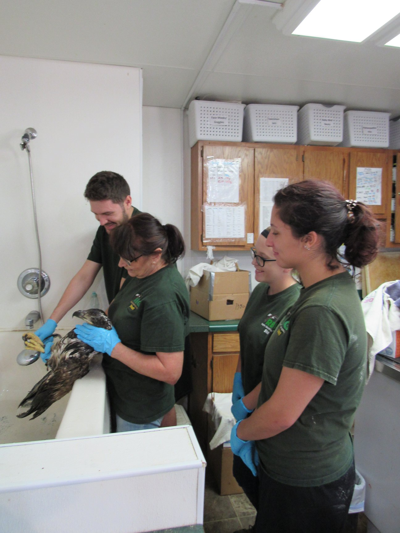 The fall interns all got a chance to try their hand at washing a bald eagle. This eagle needs lots of washing to free himself of the mess he got into.
