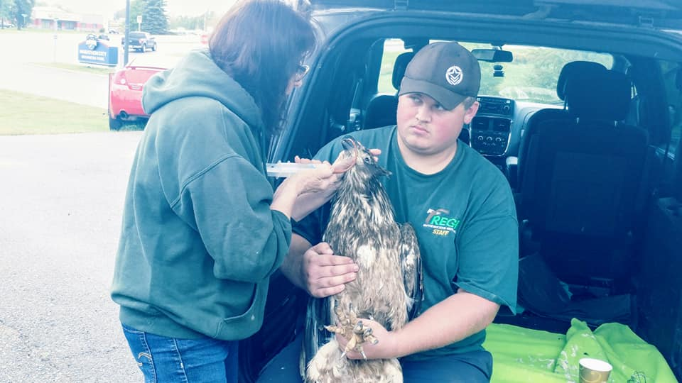 Hunter Petroskey and I intercepted the transporters in Marathon City, WI to begin life saving treatment for this young emaciated eagle in the back of the van in a parking lot.