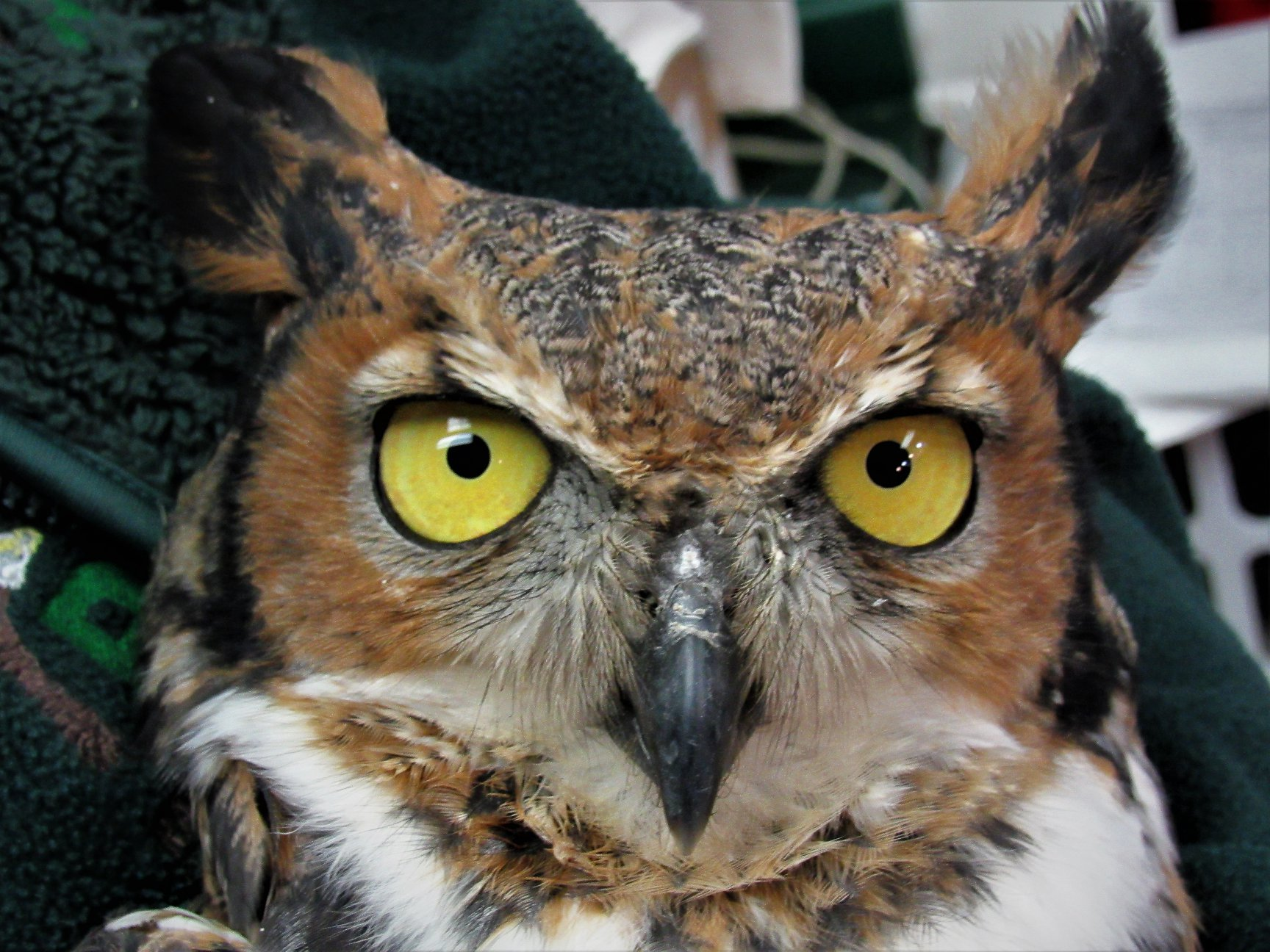 This handsome Great-horned Owl was minutes away from freedom in this photo.
