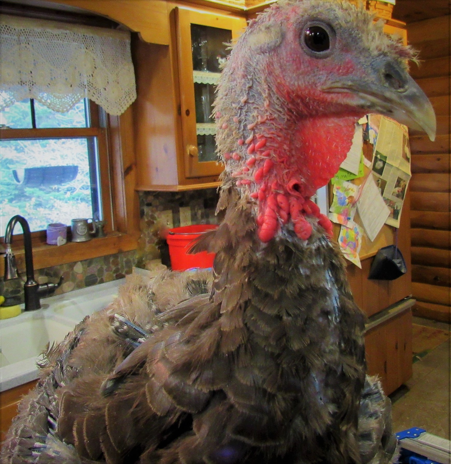 Grace is a pretty girl. Check out those feathers coming in all over her body! She nutrition is now good and able to support new feather growth.