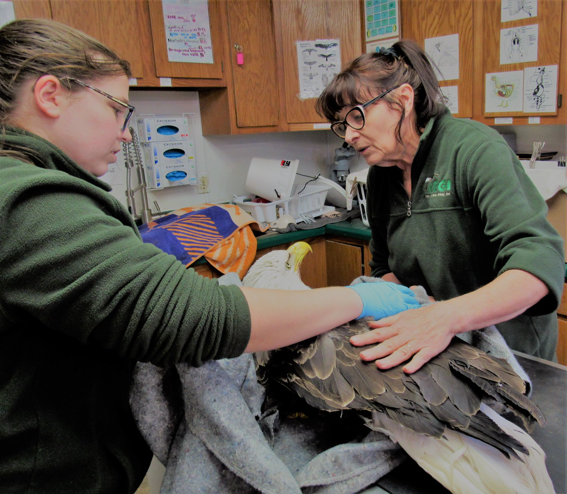One more adult Bald Eagle admitted with lead poisoning.