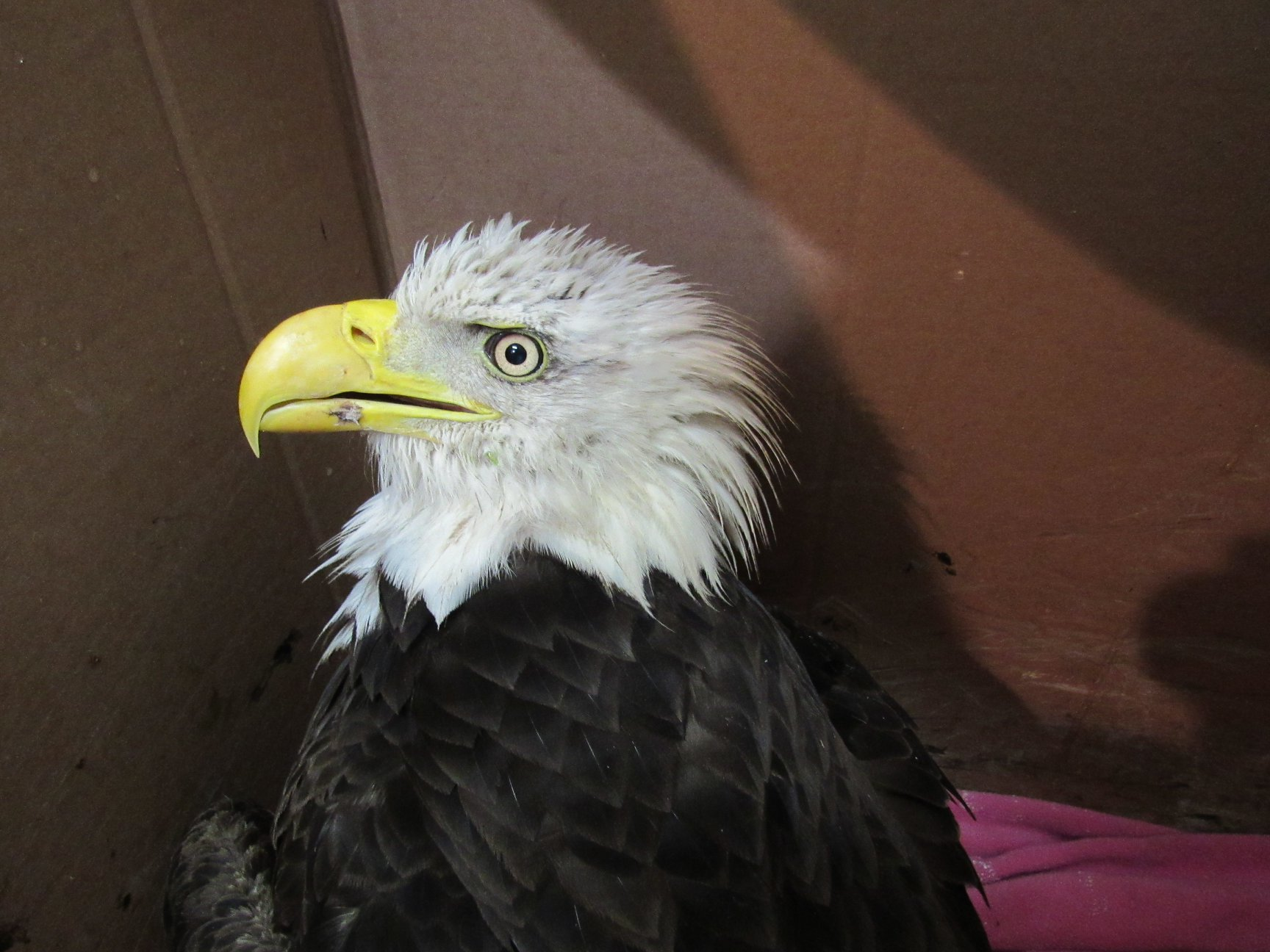 Another Bald Eagle with lead poisoning