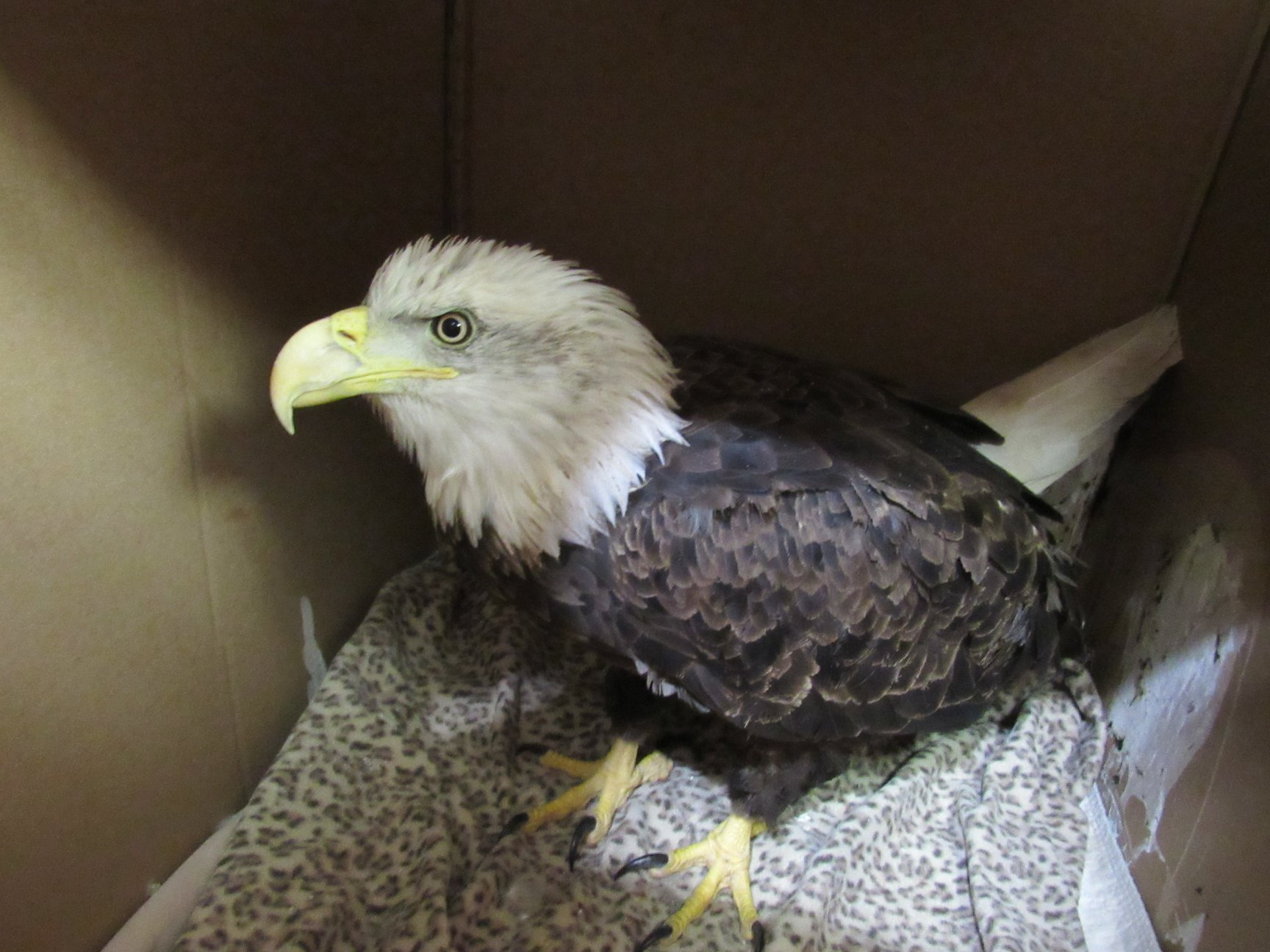 A 4 yr old bald eagle admitted from Medford with lead poisoning.