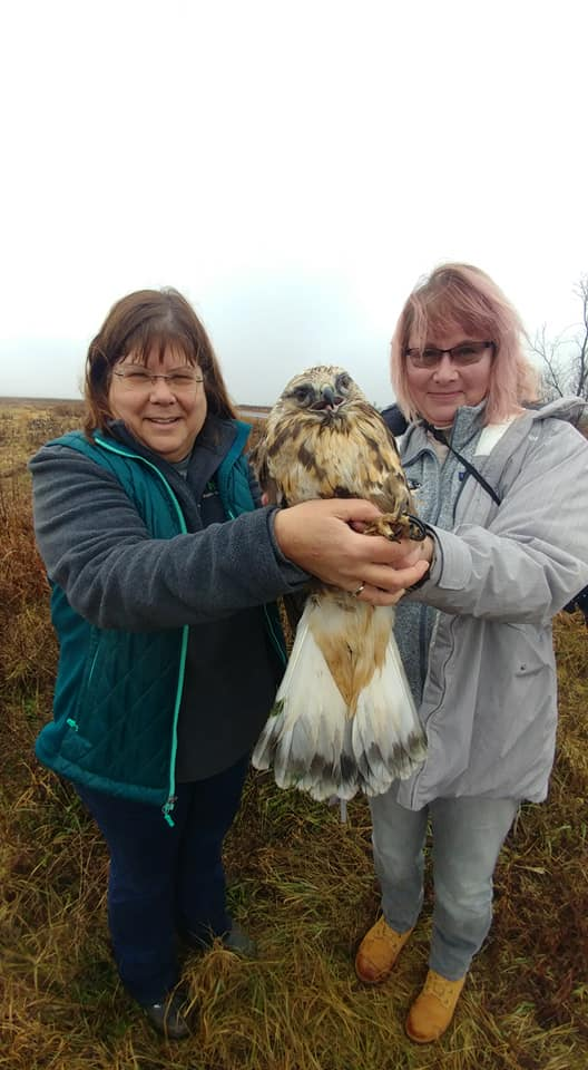 Preparing to release the Rough-legged Hawk back to the wild in a protected wildlife area with prefect habitat for her species.