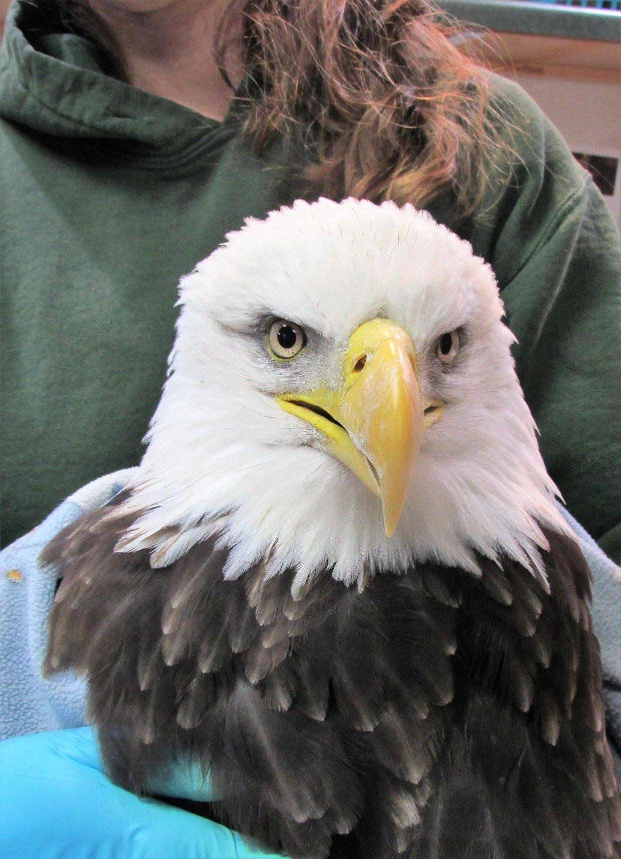 Stunningly beautiful Keshena female bald eagle.