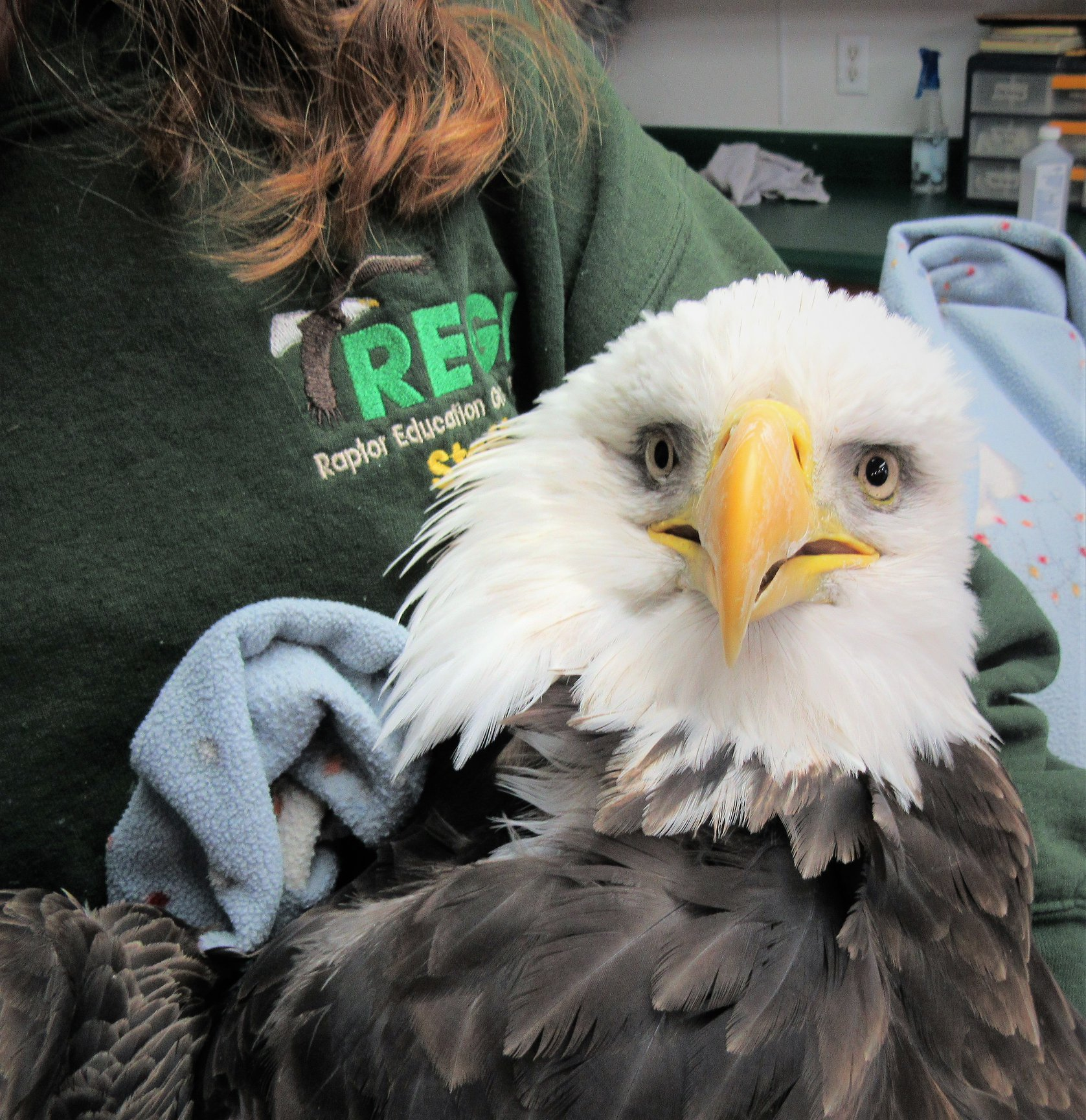 This handsome adult male Bald Eagle was admitted this evening from Shawano, WI. He was rescued and transported by Cheri and Benny Bowman.