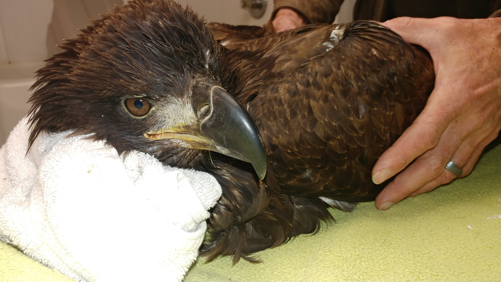 Juvenile Bald Eagle was hit by a vehicle today in south of WI Rapids.