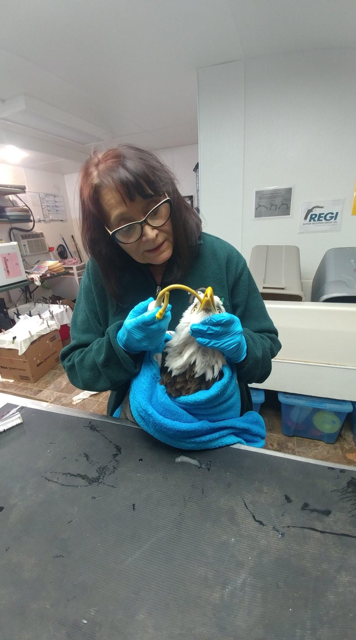 Tube feeding liquid food for the starving eagle.
