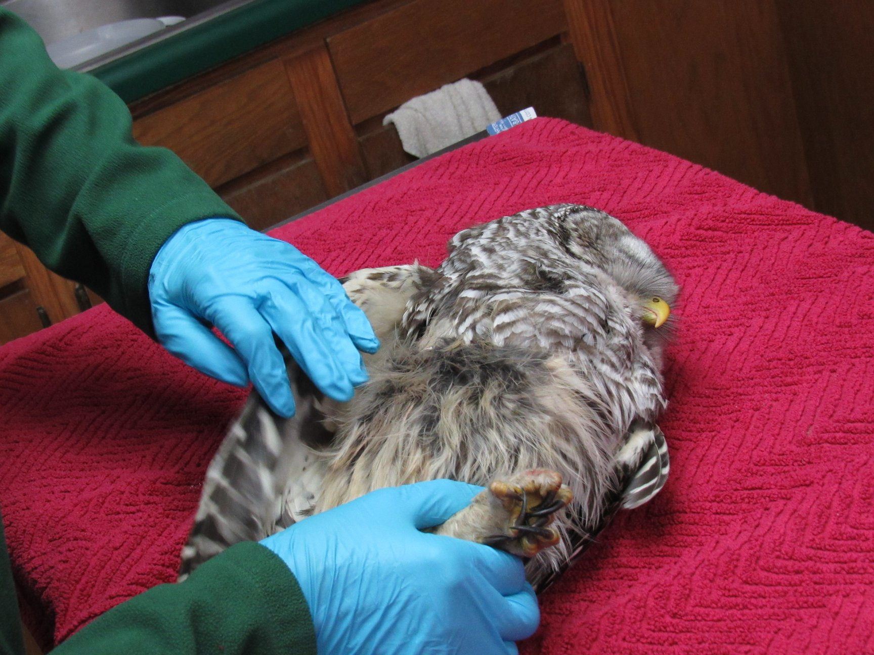 The absence of feathers on the area of the abdomen indicate where the owl made impact with the vehicle and the reason for the internal bleeding.