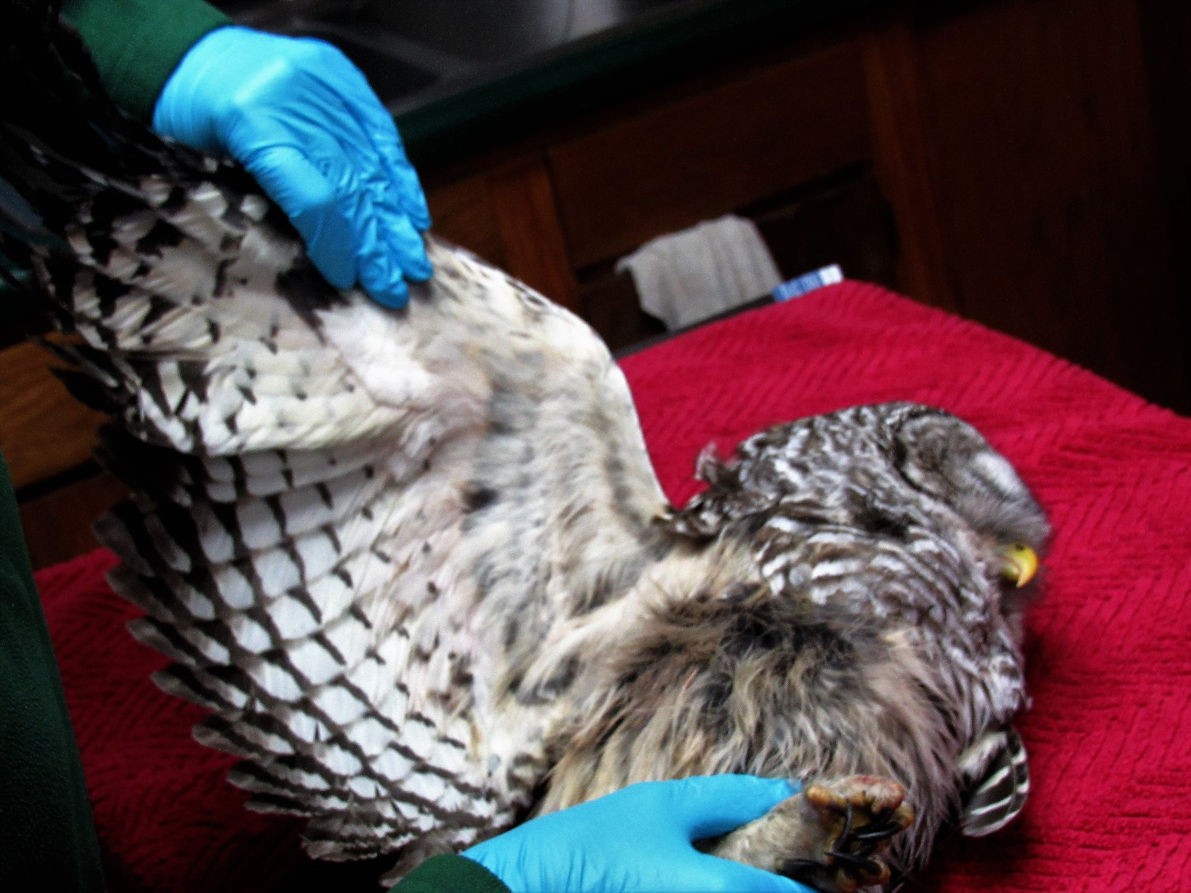 The owl has a wing fracture but it is recoverable.