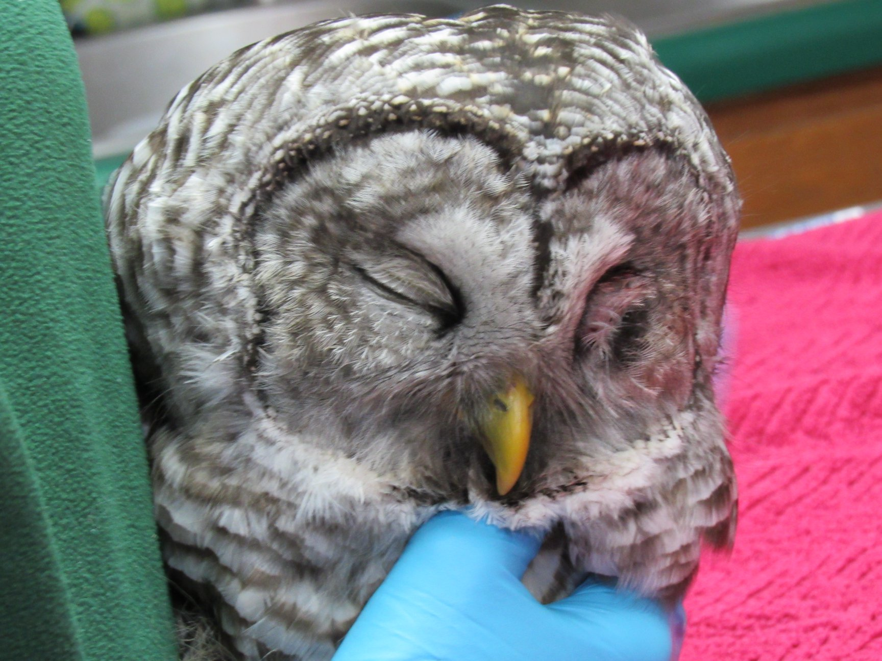 The Barred Owl was hit by a vehicle. He has a wing fracture, head injury and some internal bleeding.