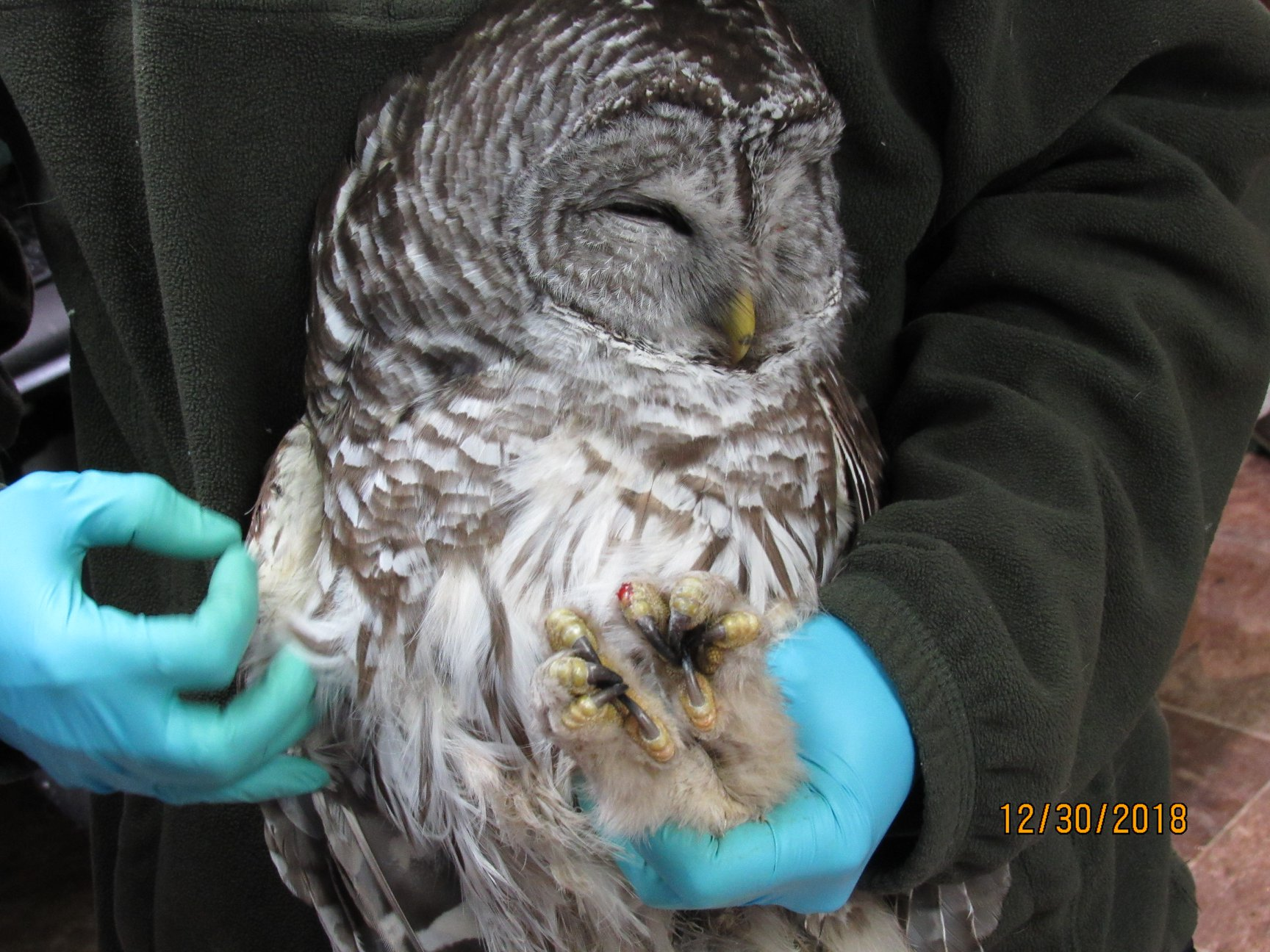 This Barred Owl was found on the side of the road.in Stevens Point.