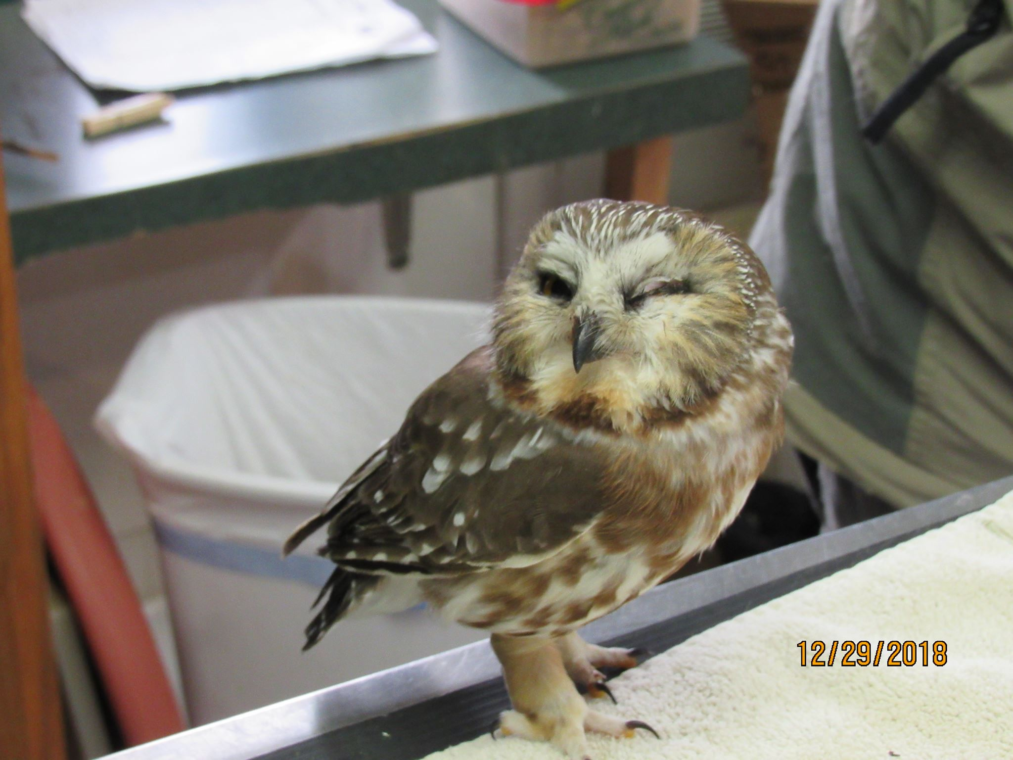 The female Saw-whet has an eye injury but is improving.
